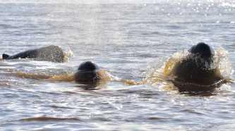 Chhoeu Teal Mekong Dolphin